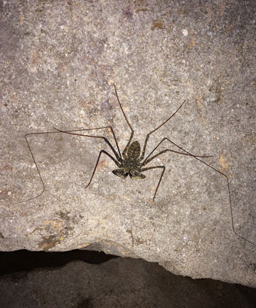 A tailless whip scorpion, locally called a scorpion spider, clings to a wall inside the Camuy River Cave Park