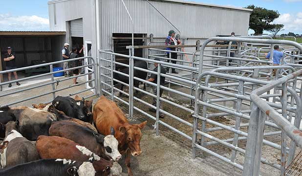 Close to 200 cattle were sold in two hours at a stock sale at the RD1 Livestock yards in Kaponga.