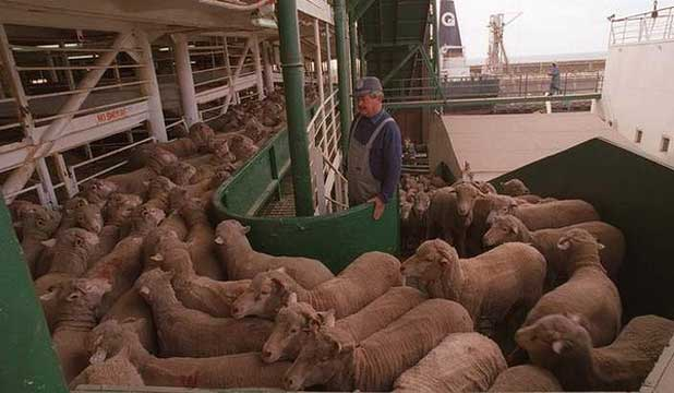 Australian sheep loaded for live export.