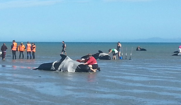 SAD SIGHT: Whales which restranded on Farewell Spit this afternoon.