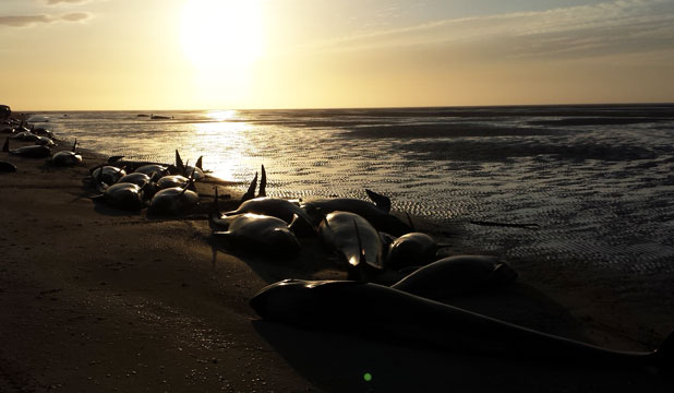 SAD SIGHT: Whales stranded on Farewell Spit early this morning.