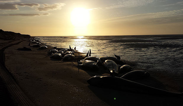 Farewell Spit whale stranding