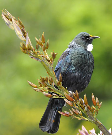 HERE BIRDIE BIRDIE: You'll spot many native birds throughout the tour, including Tui.