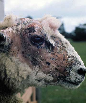 Sheep with facial eczema.
