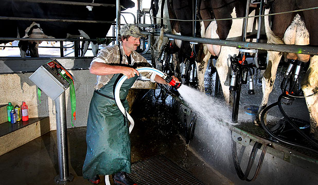 Milking is under way as Tikorangi farmer Craig Rowe cleans up before putting  cups on one of his 384 cows.