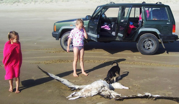 BIG QUESTION: Danika, 5 and Alsya, 7  Hilliam and their puppy check out one of 12 dead albatross which Noel Hilliam has seen washed up on Ripiro Beach, south of Glinks Gully.