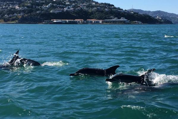Dolphins at Wellington's Evans Bay