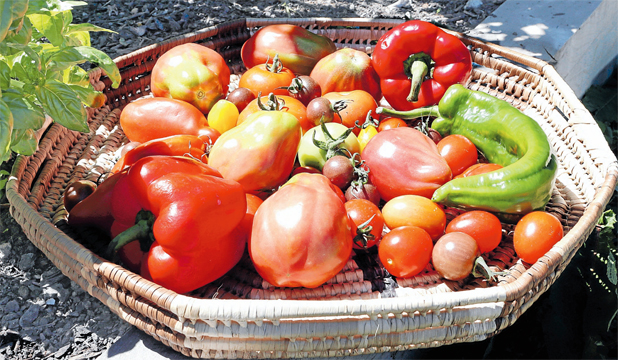 FRUITS OF THE HARVEST: Freshly-picked tomatoes are one of the purest pleasures of the summer season.