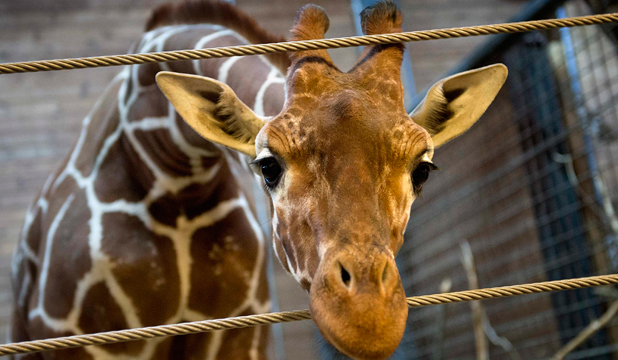 HAPPIER DAYS: Marius the giraffe is pictured in Copenhagen Zoo on February 7, just days before he was shot by zoo staff, cut up and fed to lions.