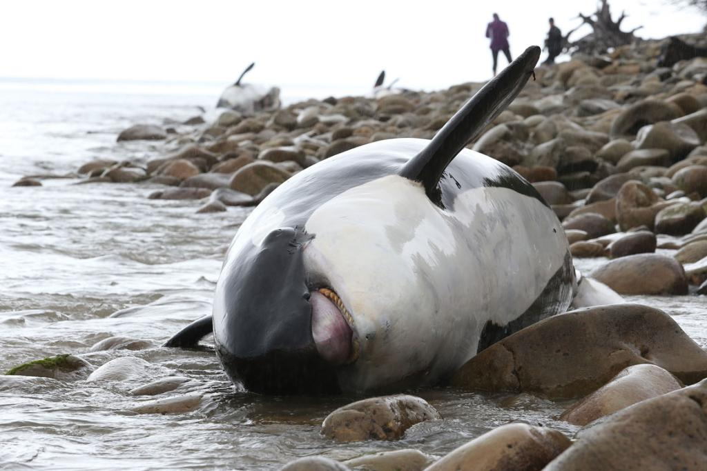 Times' chief photographer Robyn Edie captures the orca stranding near Tuatapere, Western Southland.
