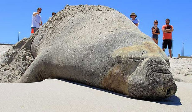 TAKING A BREAK: This 2000kg elephant seal hauled out of the sea this week on a beach in Western Australia.