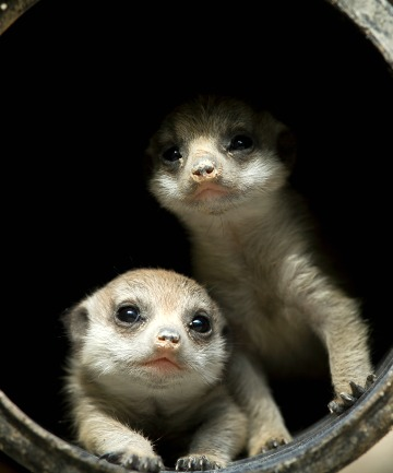 DOUBLE TROUBLE: Gender unknown as yet, the baby meerkats are inquisitive about their surroundings, and healthy.
