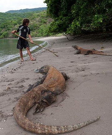 ISLAND RESIDENTS: Komodo dragons on the beach, under the watchful eye of a guide.
