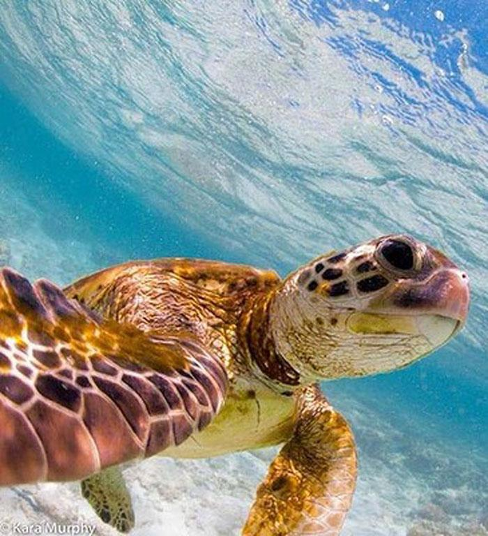 Lady Elliot Island, QLD. #turtle #selfie from @karamurphyimages at outdoortravelchannel.tv (44,100 likes)