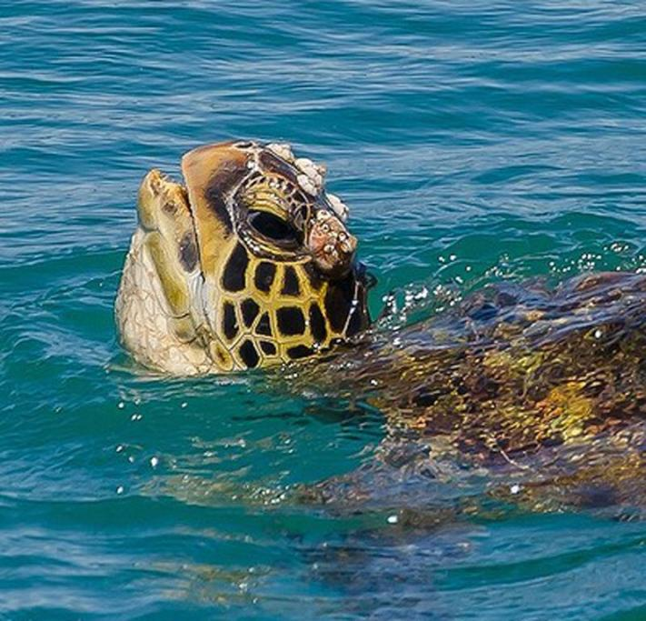 """Stradbroke Island, QLD: """"Yes, I do know I have barnacles on my head""""... Love this #turtle shot by @jewelszee_ at Stradbroke Island. (39,400 likes)"""