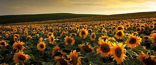 Paddocks of sunflowers provide a floral vista in North Otago.