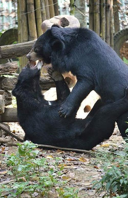 Play time: Free the Bears refuge, Luang Prabang.