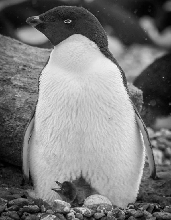 An Adelie penguin guards a newly hatched chick at Brown Bluff in the Weddell Sea.