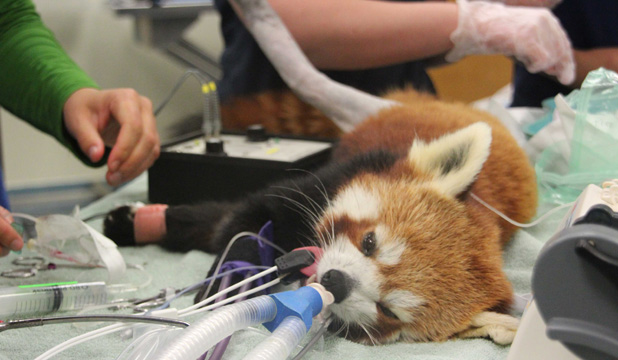 Red panda being operated on by Massey vets