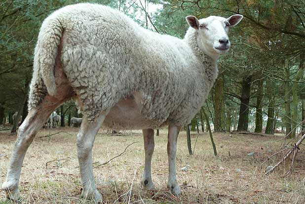 David Scobie's low cost easy-care sheep with their short tail, bare head, legs and belly and bare breech are go to a dispersal sale.