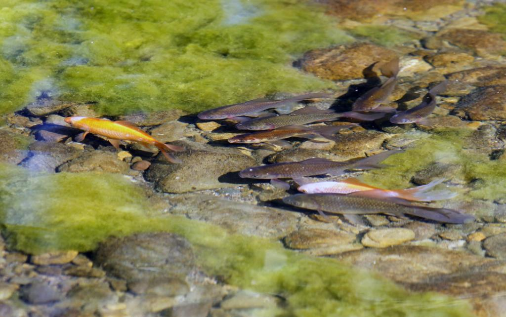 Fish swimming in the Taylor River in Blenheim