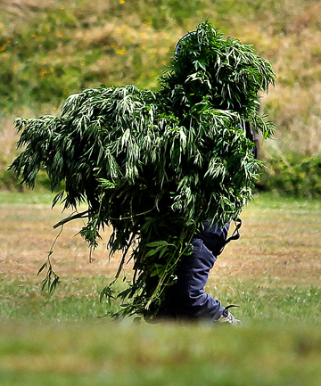 THE CREATURE FROM...: Police winched into rural Taranaki as part of a drug operation last week found plots alive with cannabis.