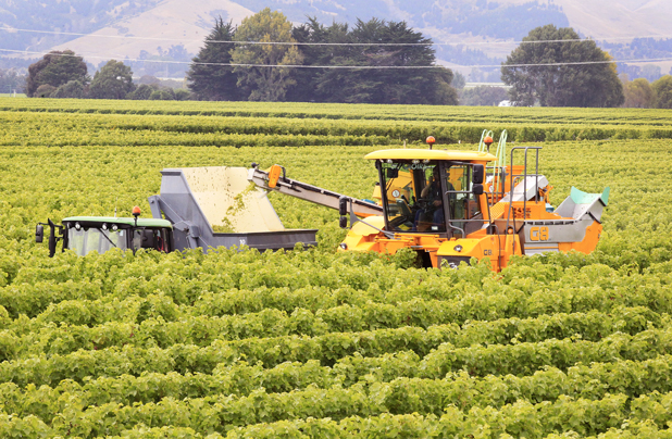 Sign of season: Harvesting in a vineyard on Middle Renwick Rd