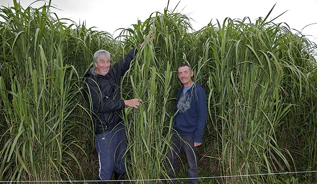 Lincoln University researchers Steve Wratten (left) and Chris Littlejohn among giant miscanthus grass growing on trial at a Kirwee dairy farm.