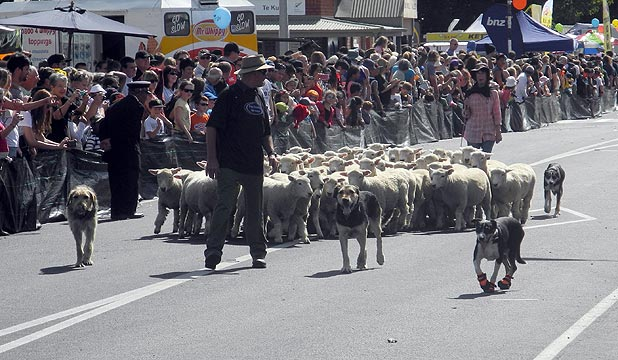 Steely-eyed dogs kept mobs of sheep in line as they hoofed down Te Kuiti's main street as part of the annual Running of the Sheep.