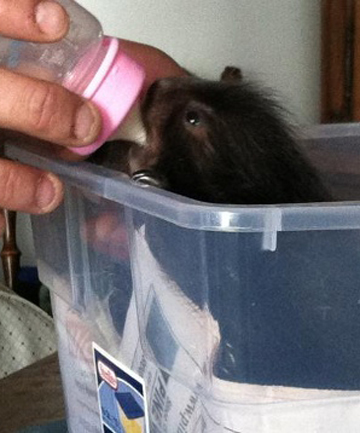 Jared Buzzell is feeding the baby porcupine with his daughter's toy doll bottle.