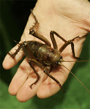WETA PUNGA: Considered nationally endangered, these giant wetas are one of the world's heaviest insects, weighing as much as a sparrow.