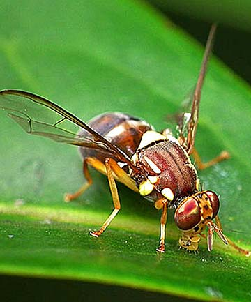THE FLY: A Queensland fruit fly
