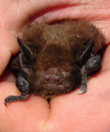 RARE FLYER: A long-tailed bat colony has been discovered near a South Canterbury farm.