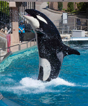 STARS OF THE SHOW: More than a million people around the world have signed a petition to try and stop entertainment parks using killer whales in shows.
