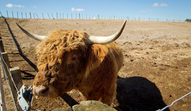 Highland cattle beast