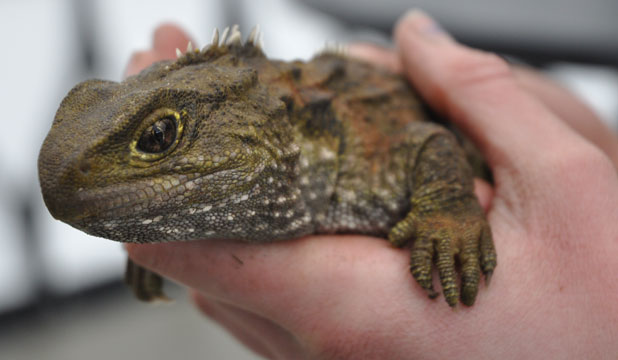 BOYS CLUB: Climate change is leading to male tuatara outnumbering females.