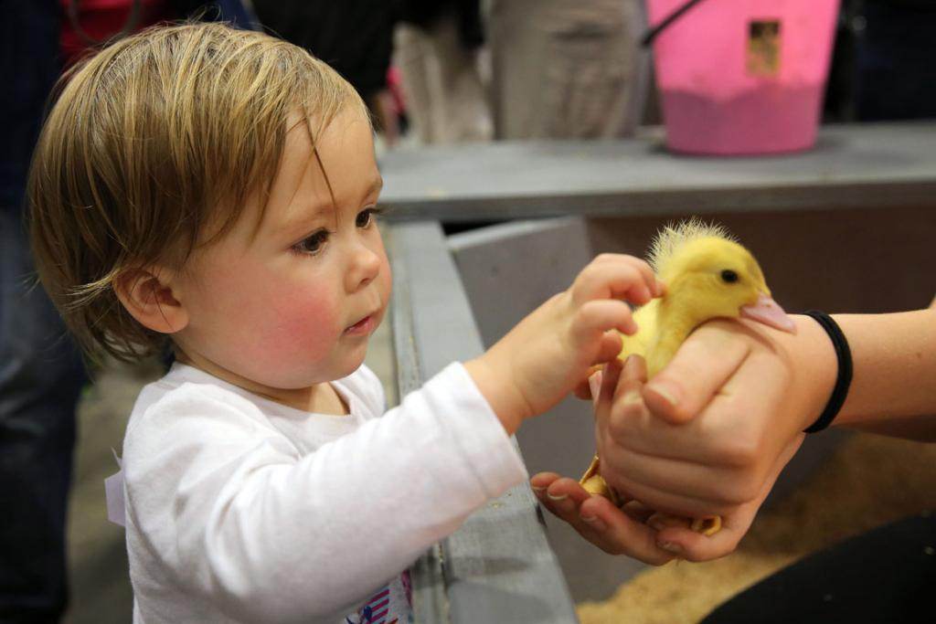 Mahlia Brown gets up close and personal with a duckling at the Royal Easter Show in Auckland.