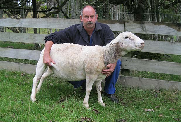 SURVIVOR Breeder Kevin Carr with the ewe that barely survived the dog attack.