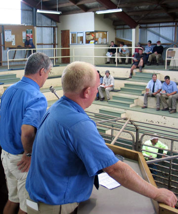 RECORD: PGG Wrightson auctioneers Greg Uren and Joe Higgins at work in the cattle ring at the Temuka sale in April.
