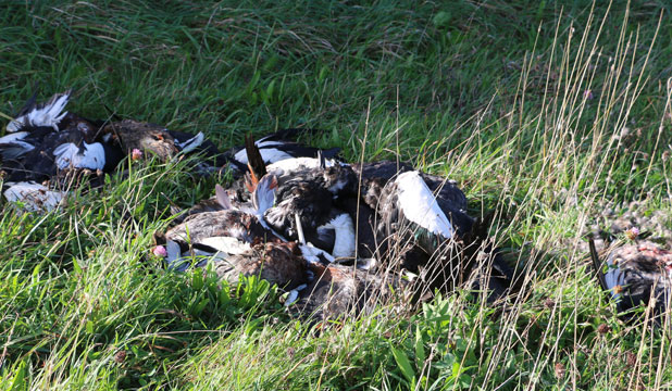 A South Taranaki postie is outraged someone has dumped about two dozen duck carcasses on the side of a rural road.