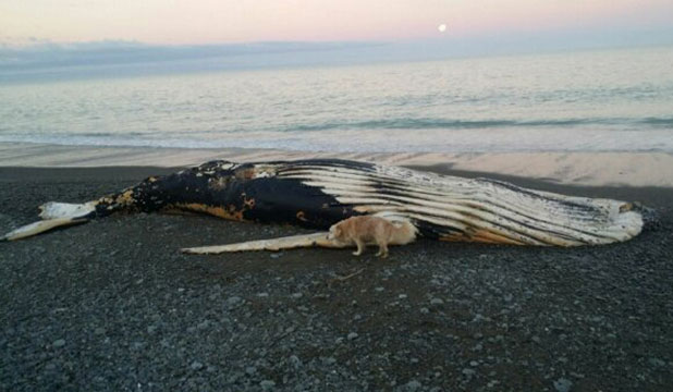COME ASHORE: A dead whale has washed up on Pareora Beach.