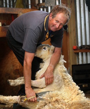 VETERAN BACK: Fairlie farmer Tony Dobbs, seen here at an earlier competition, picked up his shears and clipped his way into third at the 16th Golden Shears world shearing and wool-handling championships.