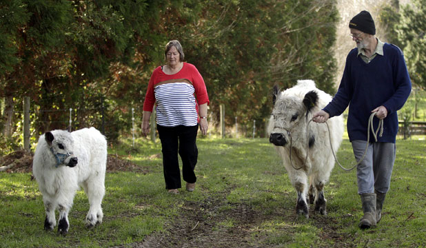Diane and Errol Brown in Ohau, south of Levin, walk with 2 1/2-year-old galloway Annabell and her 1-month-old calf Collister.