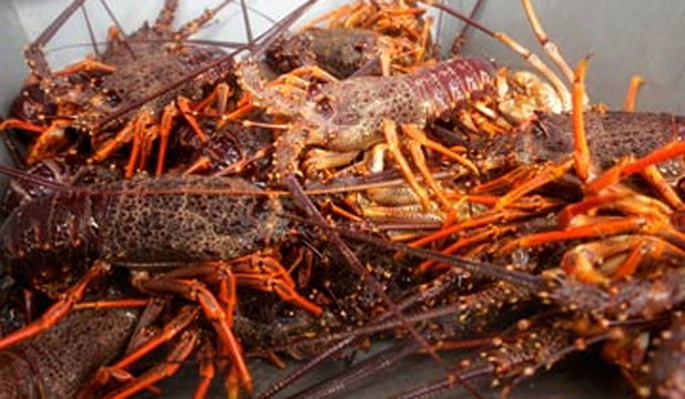 Also known as rock lobster, crayfish are a Kaikoura delicacy.