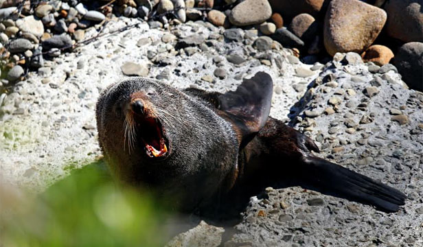 New Plymouth seal attack
