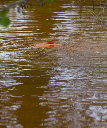 STIRRING IT UP: A Carp fish stirs up mud in the shallow waters of Lake Waikare.