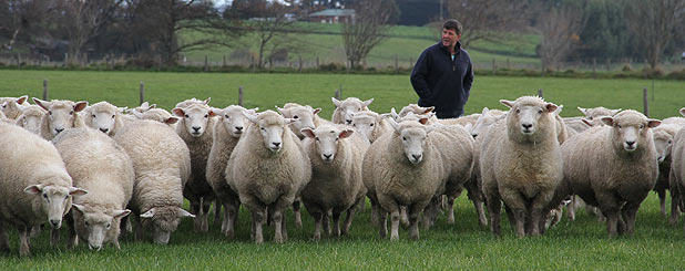 Peter Bee rounds up his coopworth-texel  hoggets on his lease block at Menzies Ferry.