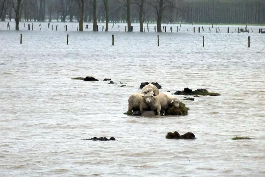 Sheep stranded amidst floodwaters