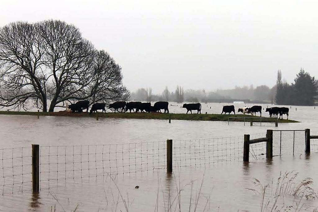 ON THE MOO-VE: Cows are forced onto a small strip of land thanks to encroaching floodwaters near Kaiapoi.