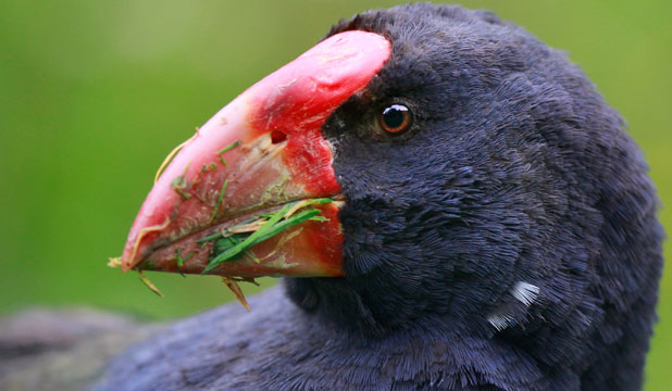 POPULAR: One of Zealandia's takahe.